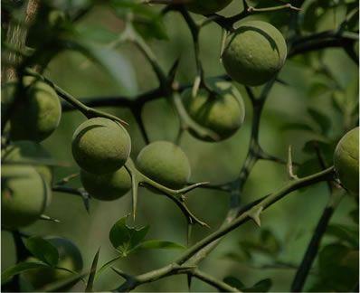 柑橘類のオーランティウム抽出物
